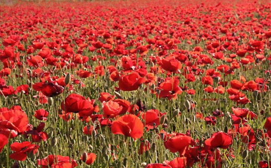 A field of red poppies in France.  Photo by Corey Amaro