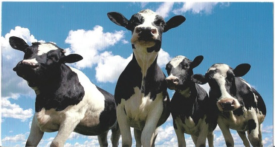 photo from http://aplethoraofpostcards.blogspot.com/2011/09/more-cows.html